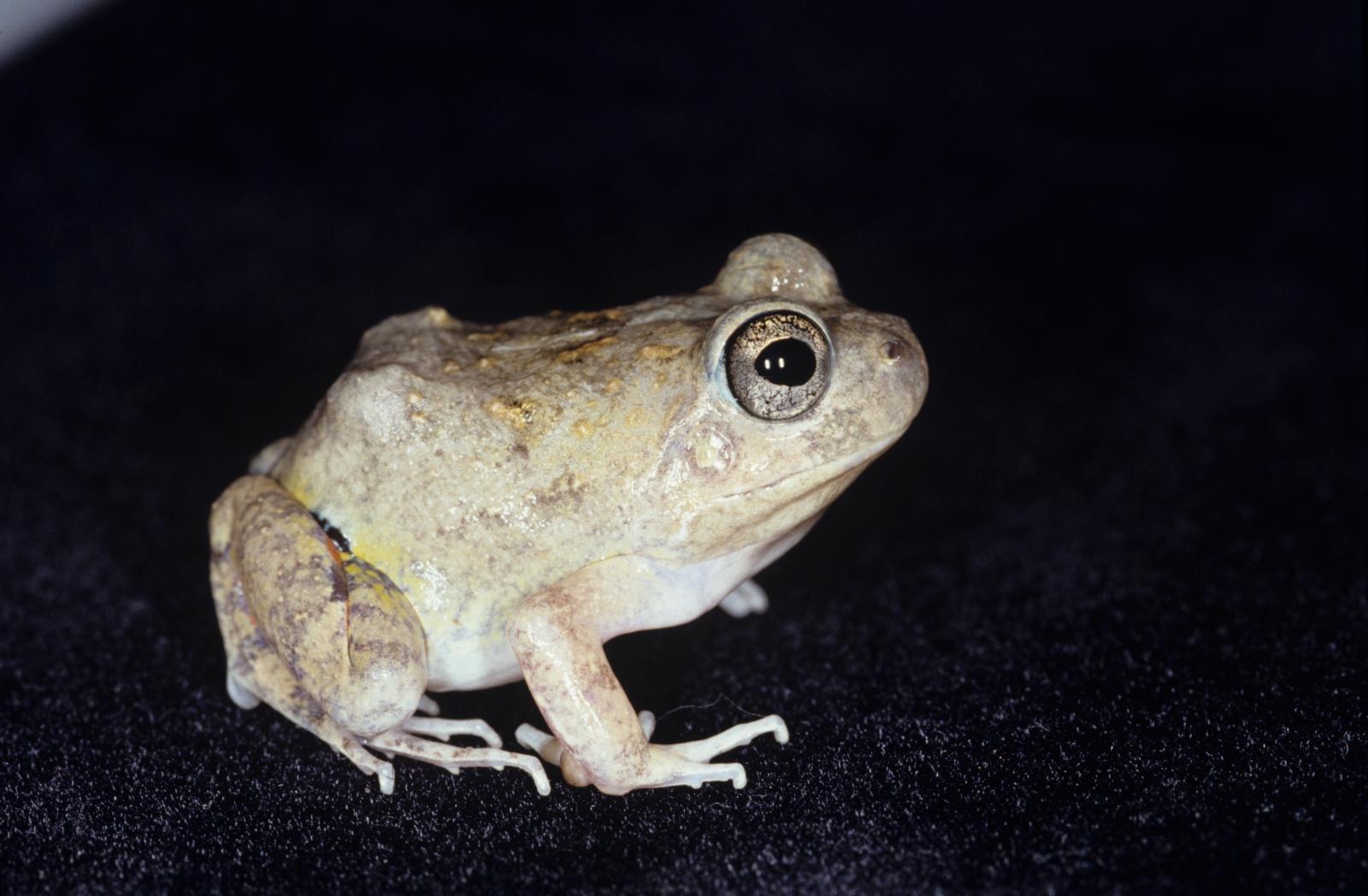 Pleurodema brachyops